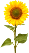 sunflower_PNG13403